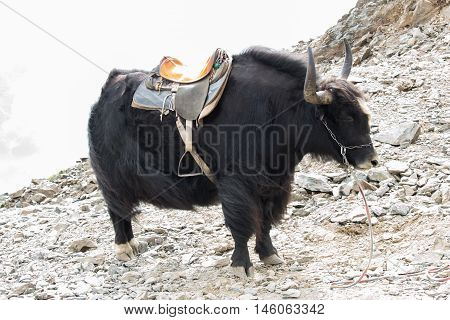 Black yak on the rocks in autumn in the daytime