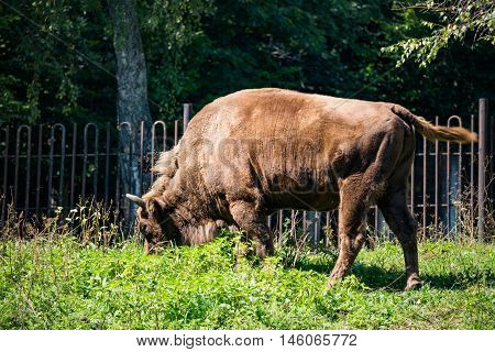 Brown bison eating green grass in the daytime