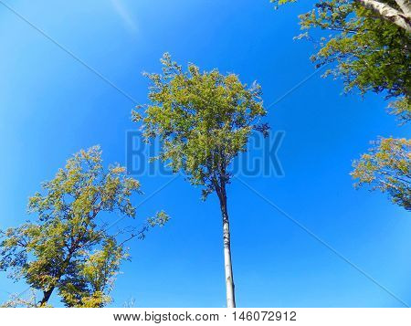High deciduous trees in deciduous forest and blue sky