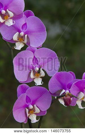 beautifun pink phalaenopsis orchid
