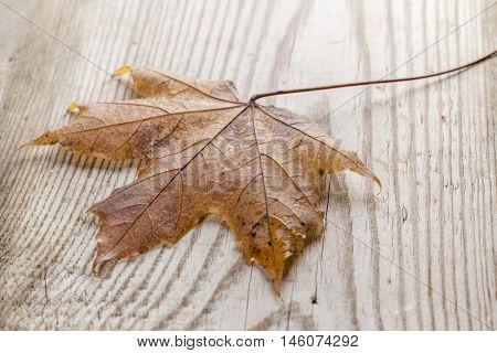 Beautiful fallen autumn maple leaf on wood background