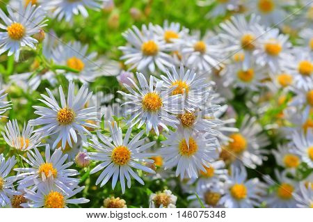 Prairie Aster ( lat. Aster amellus ). Wild plant of Siberia in the period of flowering