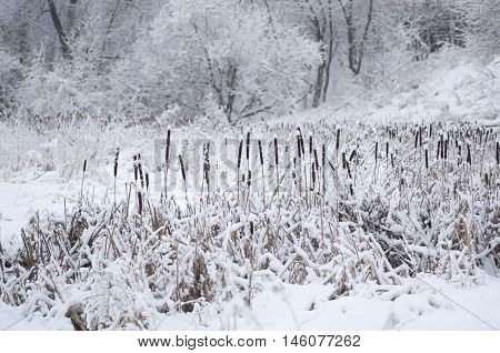 Cattail In Snow