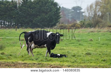 Friesian Mother cow just given birth to a new born calf.