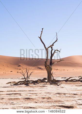 Dead Camelthorn (Acacia erioloba) Trees in Dead Vlei Namib-Naukluft National Park Namibia