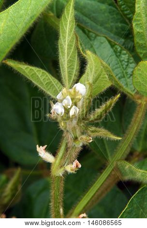 Photo shows a white soybean plant flowers in spring
