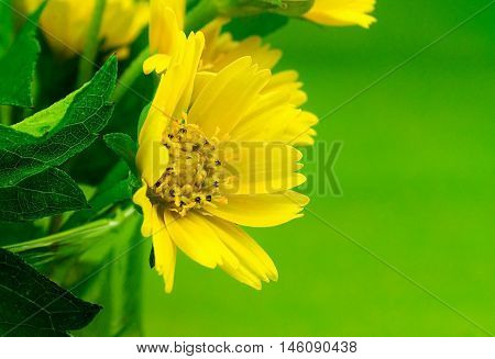 Yellow Creeping daisy flowers on green leaf background.