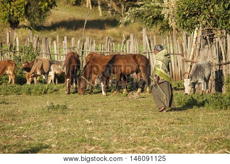 OROMIA, ETHIOPIA-NOVEMBER 6, 2014: Unidentified Ethiopian farmer tends to her animals in the Oromo region of Ethiopia