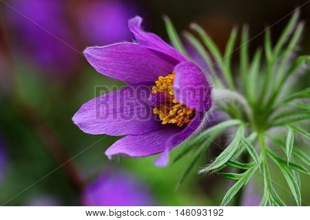 Pulsatilla easter flower on the meadow. Macro photography of nature.