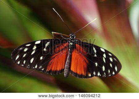 Tropical Butterfly Dido Longwing macro in green leafs