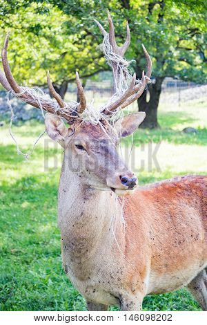 Adult deer with large antlers closeup in the daytime