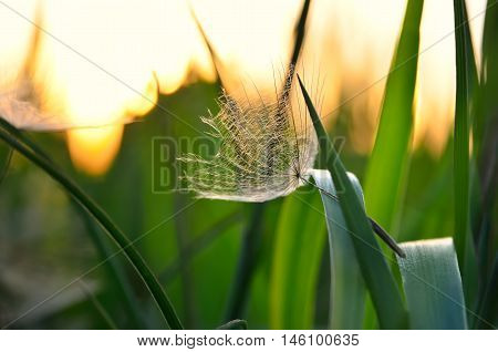 Lonely Achene Dandelion On Background Of Sunset. Gone With The Wind Dandelion Seeds On The Grass.