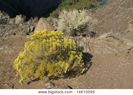 Yellow Desert Shrubs And Basalt Cliffs