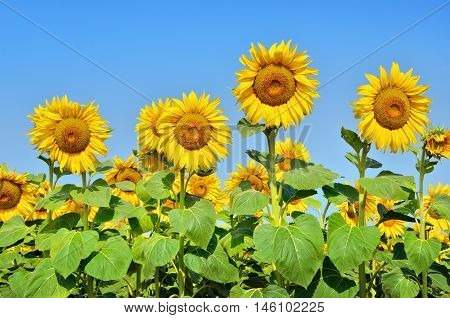 Big Yellow Sunflowers In The Field Against The Blue Sky. Agricultural Plants Closeup. Summer Flowers