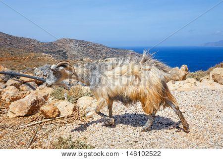 Domestic goat on Crete Island Greece, Crete