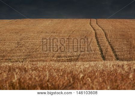 Wheat field before a storm on rural Prince Edward Island, Canada.