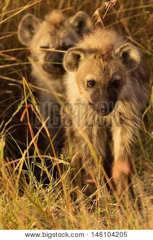 Baby spotted hyenas just come out from their hole Masai Mara Kenya. Vertical shot