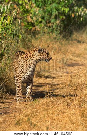 Female leopard walking slowly and looking for its pray in Masai Mara Kenya. Vertical shot looking side