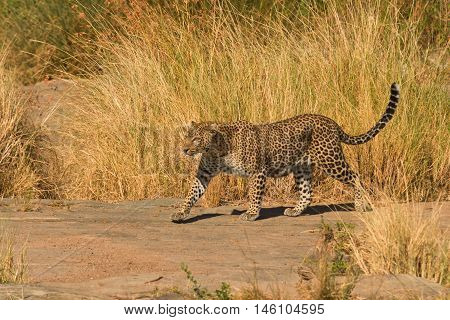 Female leopard walking slowly and looking for its pray in Masai Mara Kenya. Horizontal shot