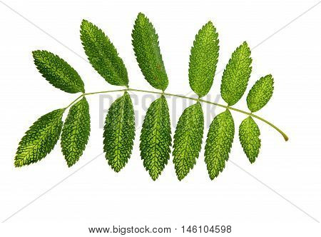 multicolor dry green leaf rowanberry Pressed isolated on white