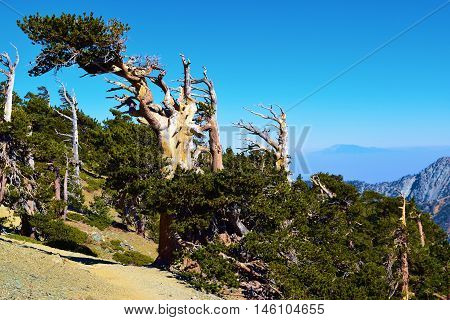 Pine Trees shaped by the wind taken at the higher elevations of Mt Baldy, CA