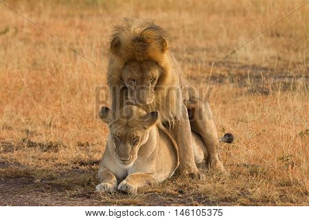 Mating lions in Masai Mara Kenya during the dry season. Horizontal shot
