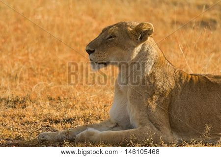 Female lion lying in the grass at sunset in Masai Mara Kenya