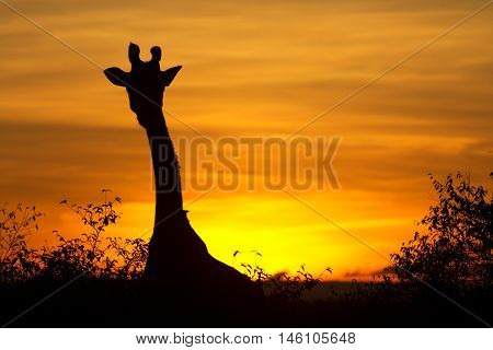 Typical african sunset with acacia trees and giraffe silhouette in Masai Mara Kenya