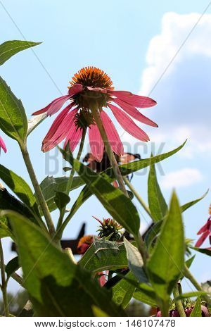 Purple cone flower from a low angle against a bright sunny summer sky with cloud.