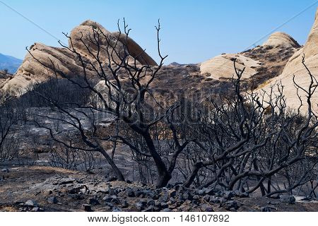 Charcoaled and burnt chaparral plants caused by the Blue Cut Fire taken at the sandstone Mormon Rocks in Cajon, CA