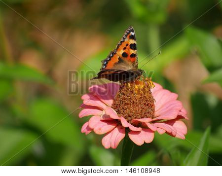 Butterfly sucking the nectar out of a flower