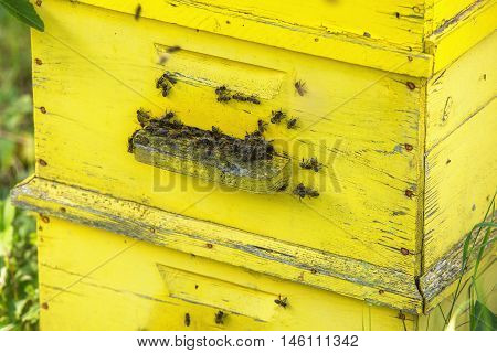 Honey bees swarming on a yellow hive