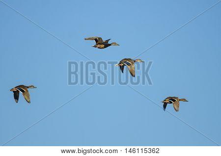 Four Mallard Ducks Flying in a Blue Sky