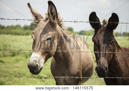 A duo of donkeys standing at a fence.