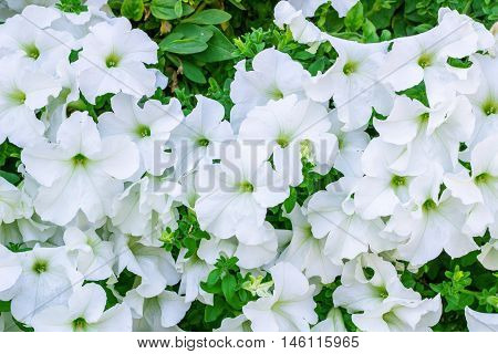 Floral background of copious quantities of blooming white Petunia flowers