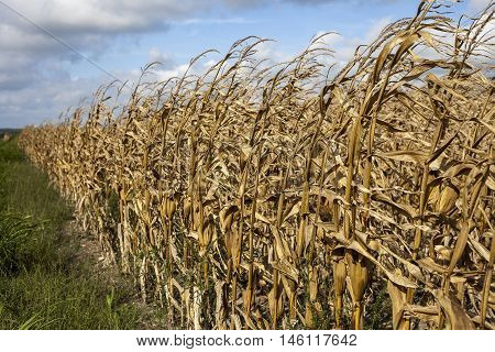 Drought leaves browned and dying corn stalks after harvest.