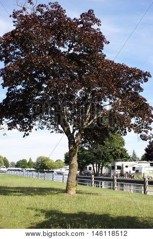 A lonley re4d maple tree at a trailer rv park during peak summer hours.