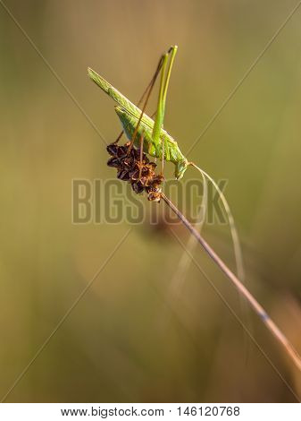 Sickle-bearing Bush Cricket (phaneroptera Falcata) In A Dry Grass Field In Italy