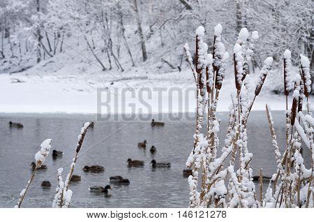 Cattail In Snow