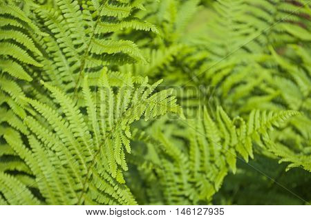 Green Leaves Of Fern Plant