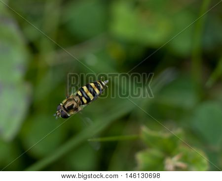 Close up of a tiny hover fly in flight