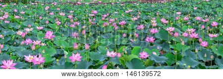 Lotus blooming season in field with hundreds blooming lotus pink petals radiating fragrance, these flowers that grow in wetlands, ponds just as decorate temple just as nutritious food in region rural Vietnam