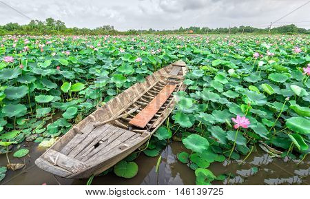The boat toward beautiful lotus blooming fields and fragrant frozen marshland around idyllic beauty created only in rural Vietnam