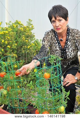 Mature female beauty picking fresh tomatoes from her garden outside.