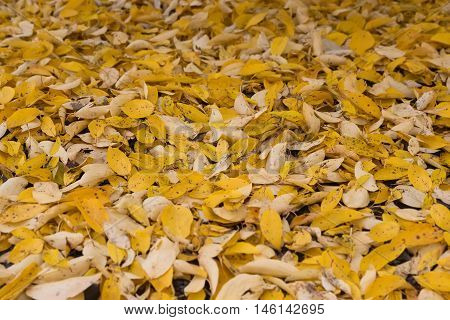 autumn yellow leaves evenly on the ground
