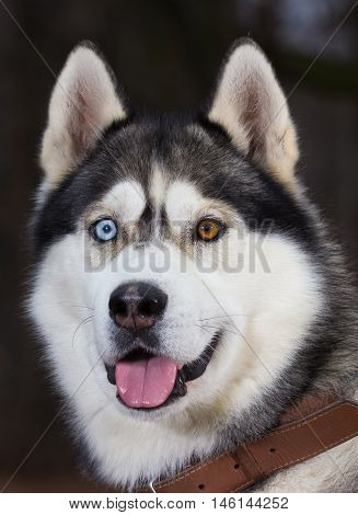 Siberian Husky with blue eyes portret in the forest