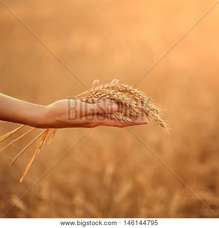 Woman's hand hold wheat ears at sunset. Shallow depth of field.
