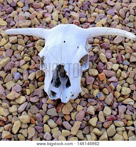 Cow skull head displayed outside on the ground.