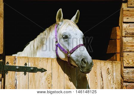 Close-up of a beautiful grey stallion in the stable