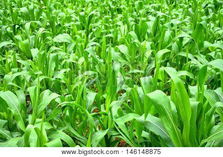 cornfield landscape in the rural in farmland in thailand